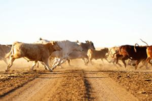 cattle running across dusty road
