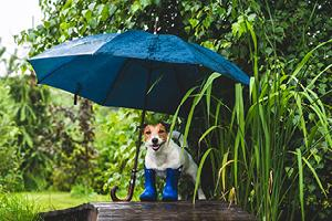 Jack Russell Terrier dog under an umbrella wearing rubber boots ready for autumn walks